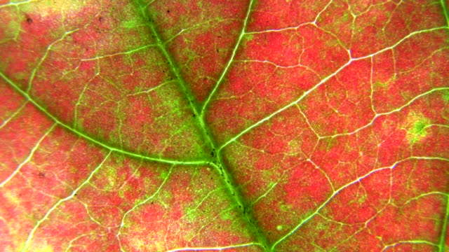 HD 1080i Grit Abstract with leaf veins 1 video