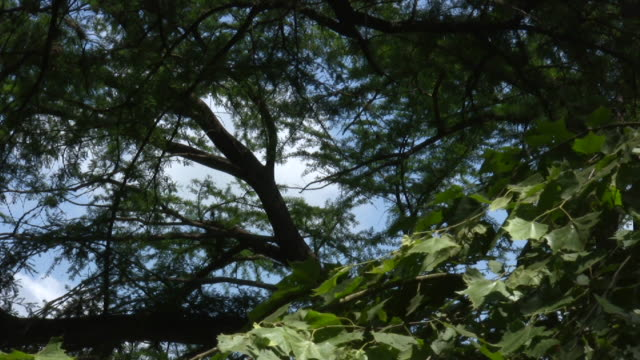 HD 1080i Leaves in Tree with Blue Sky Background 2 video