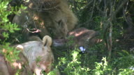 HD 1080i Lion in South Africa 13 video