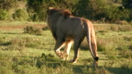 HD 1080i Lion in South Africa 7 video
