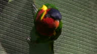 HD 1080i Parrot in aviary of South Africa video