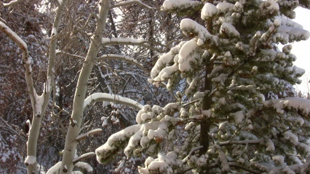 HD 1080i Pine and Aspen Tree with Snow 2 video