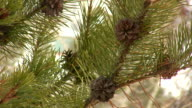 HD 1080i Pine Cone on Tree with Snow 2 video