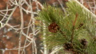 HD 1080i Pine Cone on Tree with Snow video