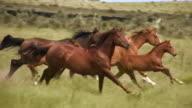 HD 1080i Wild Horses video
