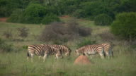 1080i Zebras on game reserve in South Africa video