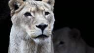1080p Alert Lioness video