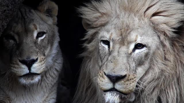 1080p - Lion & Lioness video