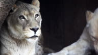 1080p Lions video