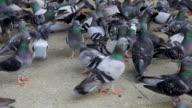 HD 1080:Pigeons video