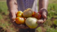 15-Man Farmer Showing Red And Green Tomatoes To Camera video