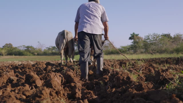 2-Man Farmer Working Ploughing The Soil With Ox video