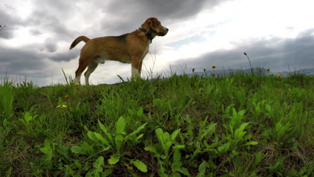 4k Footage: beagle on the daily walk looking for adventures video