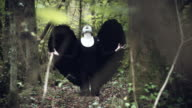 4k Halloween Dark Angel Woman with Black Wings in Forest Shouting to Sky video