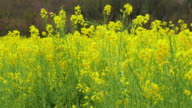 4k: rape canola flowers blossoms in a field video