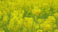 4k: rape canola flowers blossoms in a field video