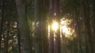 4k: Sunlight through pines forest video