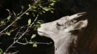 4k video wild bighorn sheep feed in Waterton Canyon Colorado video