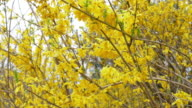 4k: yellow forsythia flowers in spring video