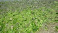 4K,Sea lettuce,Tideland,Okinawa,Japan video