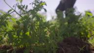 9-Farmer Walking In Tomato Field Inspecting Plants video