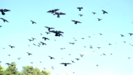 a beautiful flock of pigeons circling in the sky video