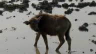 a buffalo calf in Thailand video