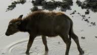 a buffalo calf video
