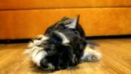 a dog at home. Miniature schnauzer video