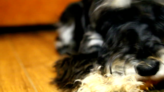 a dog. Miniature schnauzer video