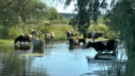 a herd of cows at a watering place near the river video