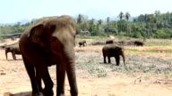 a herd of wild elephants video