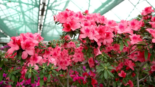 a Large Number of Big Pink Flowers on a Branch in a Hothouse video