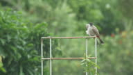 a pair of Red-whiskered bulbul cleaning itself video
