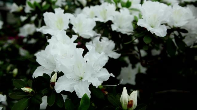 a Plurality of Big White Flowers on a Green Bush Azaleas Close up video
