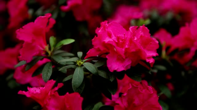 a Plurality of Pink Azaleas Flowers Close up video