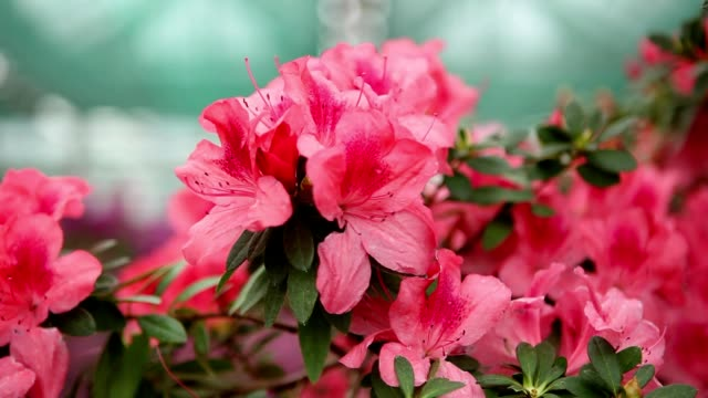 a Plurality of Tufts of Pink Flowersof Azalea in the Greenhouse video