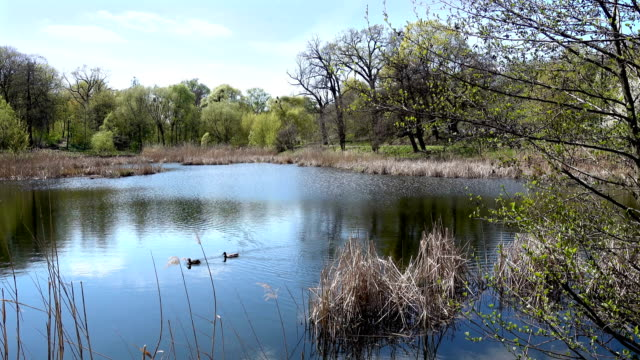 a Quiet Lake With Ducks Near the Spring Forest video
