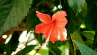 a red hibiscus flower video