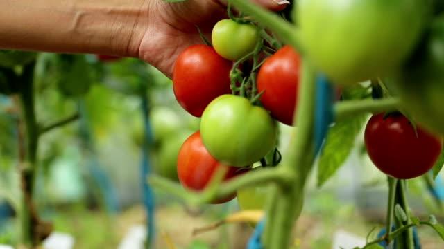 a woman picks ripe tomatoes video
