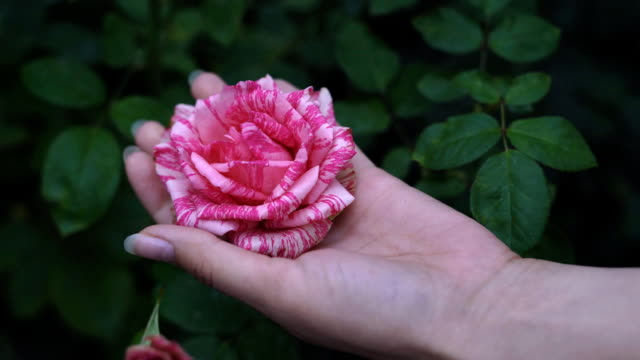 a young female cancer close-up holding a fist in a fist. the rosebud is dented. The gum opens its hand and the rose opens video