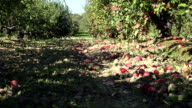 Abandoned orchard tree alley and windfall fruits lie on ground in autumn. FullHD video