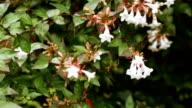 Abelia floribunda video