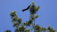 Abert's squirrel jumps pine tree Mount Falcon Park Morrison Colorado video