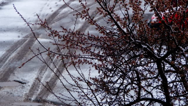 Abnormal weather. Snow goes on the Flowering Tree of Apricots in April video