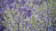 Abnormal weather. Snow goes on the green trees and leaves in April at Spring. Slow Motion video