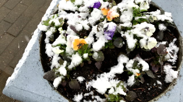 Abnormal weather. The snow falls in May. Snow falls on the Blossoming Flowerbed video