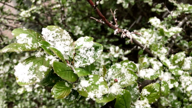 Abnormal weather. The snow falls in May. Snow falls on the newly emerged young leaves of trees. video