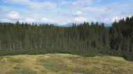 AERIAL Above the spruce forest marshland video