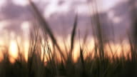 Abstract bearded head of wheat crop at dusk(alt) video